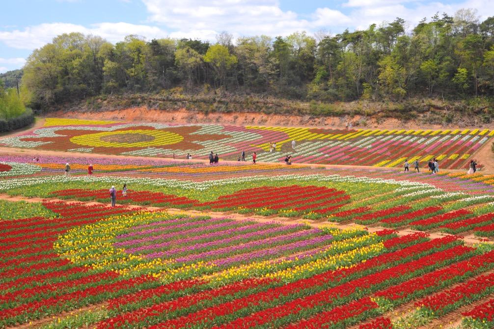日本最大のチューリップの花絵