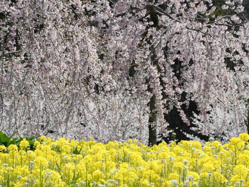 桜【見頃過ぎ】