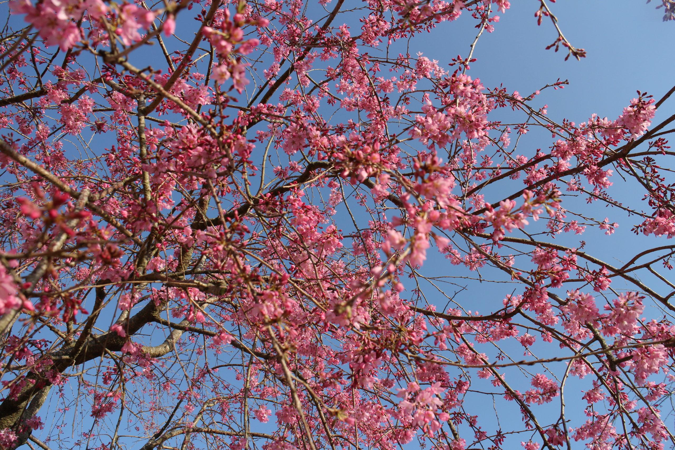 桜【全体の約6割の開花】