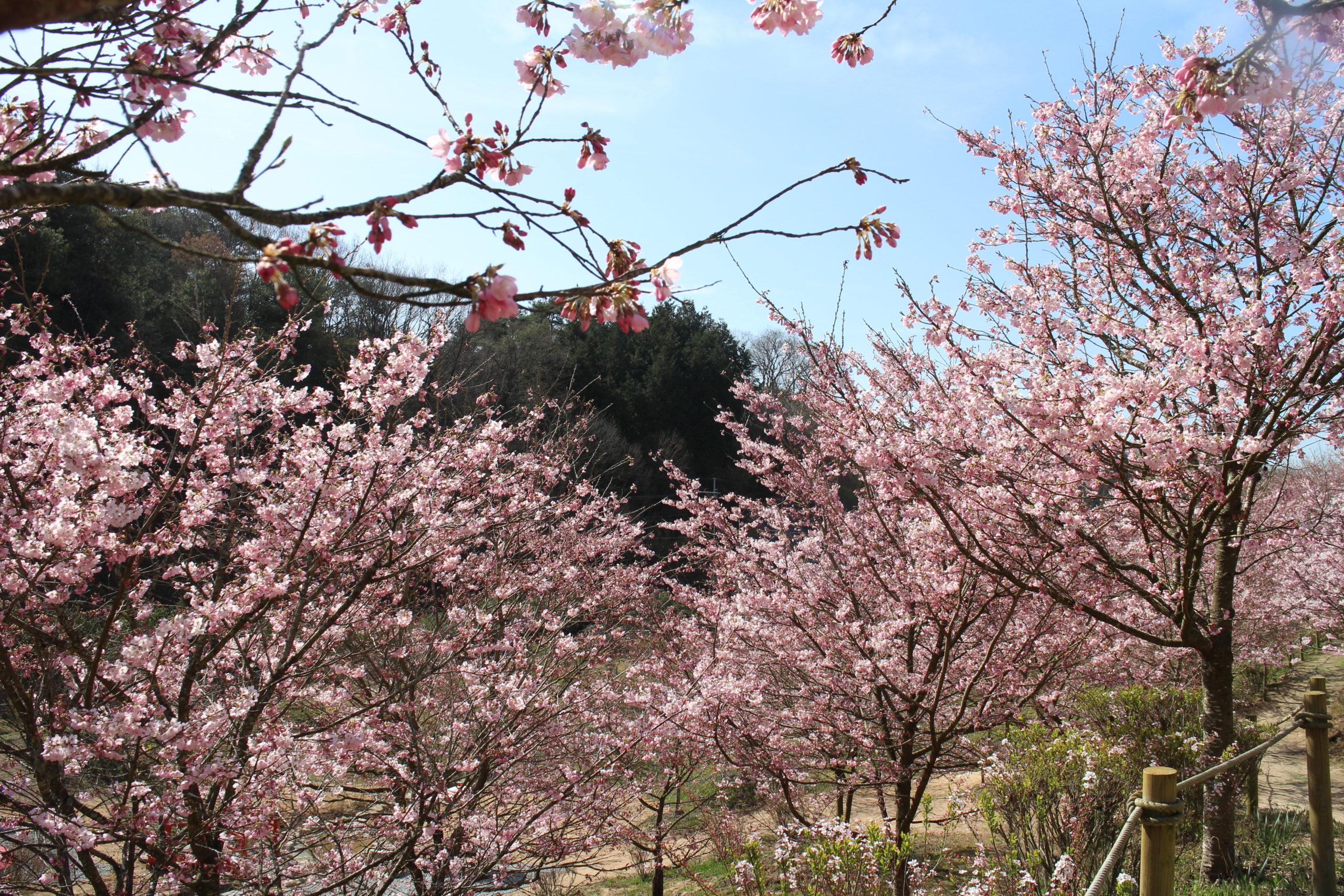 桜【全体の約7~8割の開花】