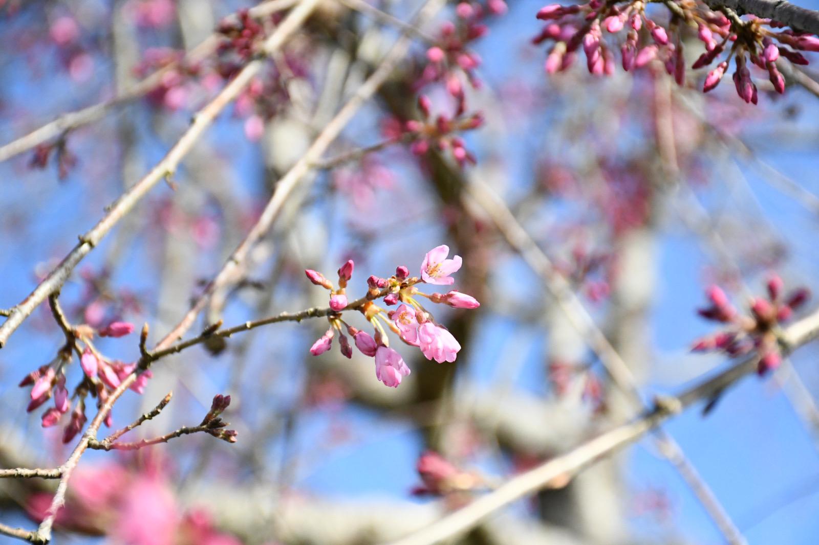 【3月24日開園】しだれ桜【咲き始め】