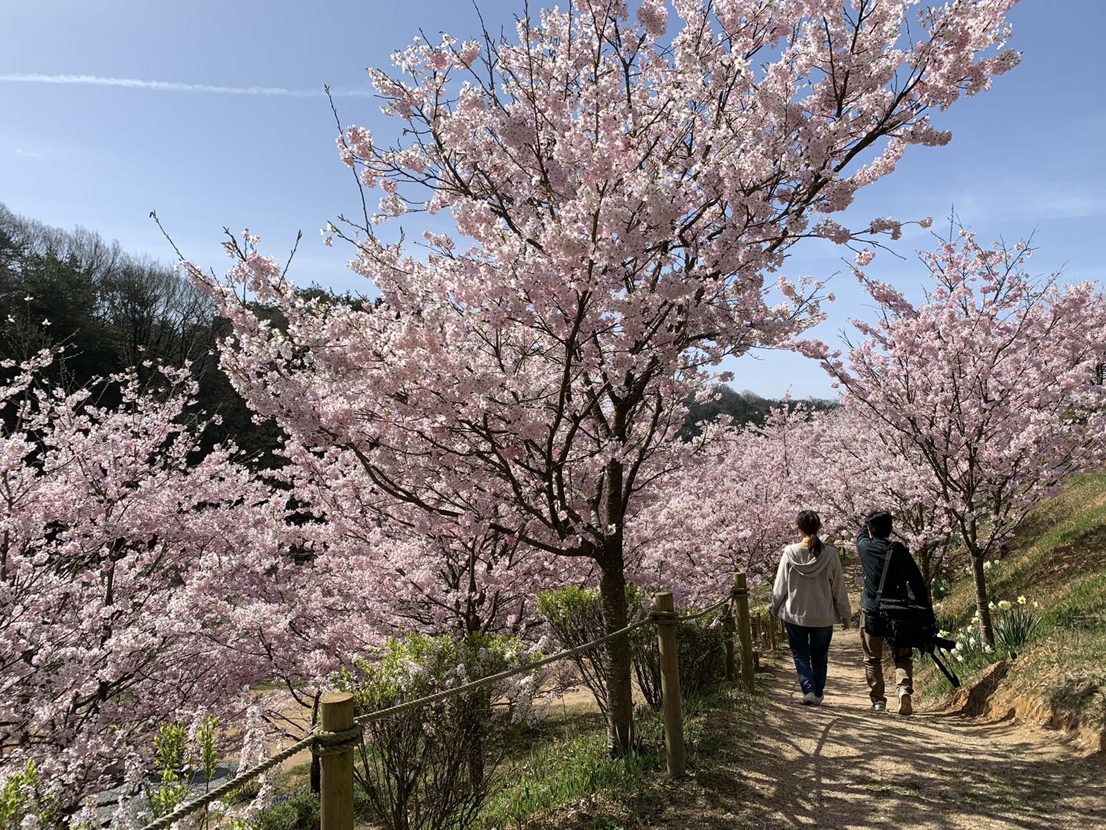 桜【見頃】