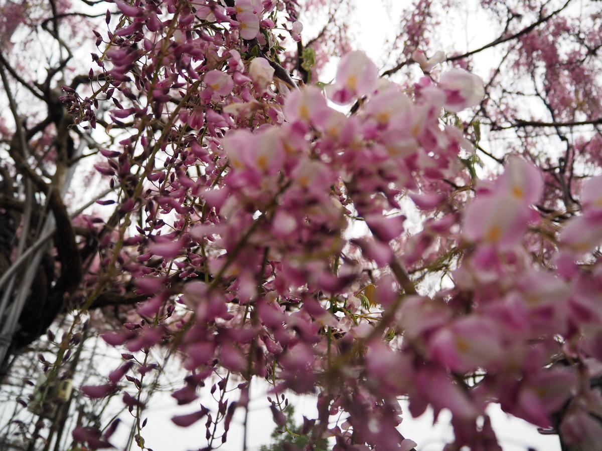 【本日開園】ふじ【6割~7割の開花】