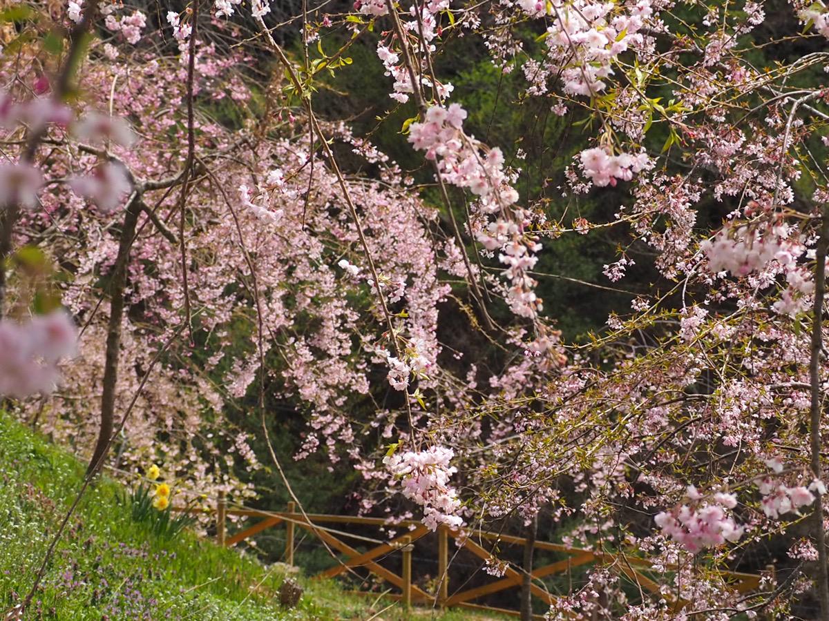 桜【一部見頃過ぎ】