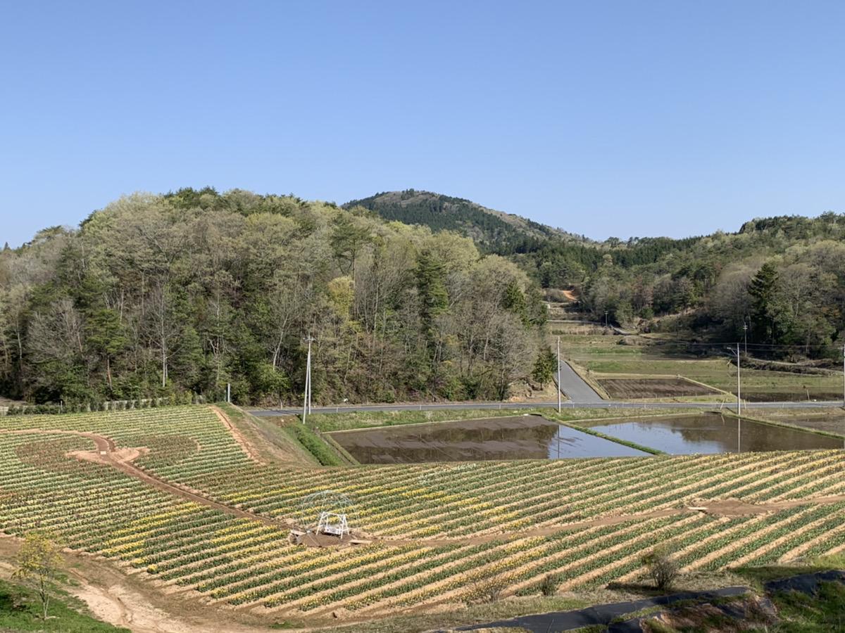 【開園中】チューリップ【6割~7割程度の開花・早咲き品種は見頃】