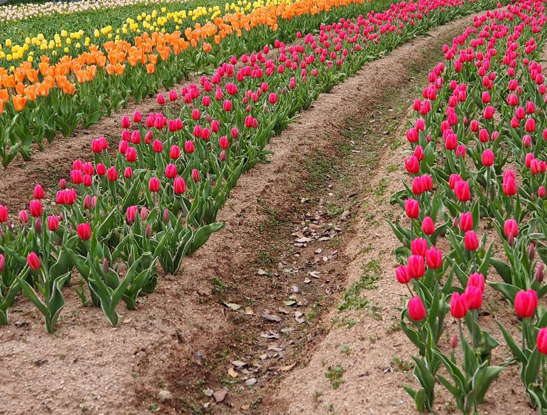 【本日より開園】チューリップ【4割程度の開花・早咲き品種は見頃】