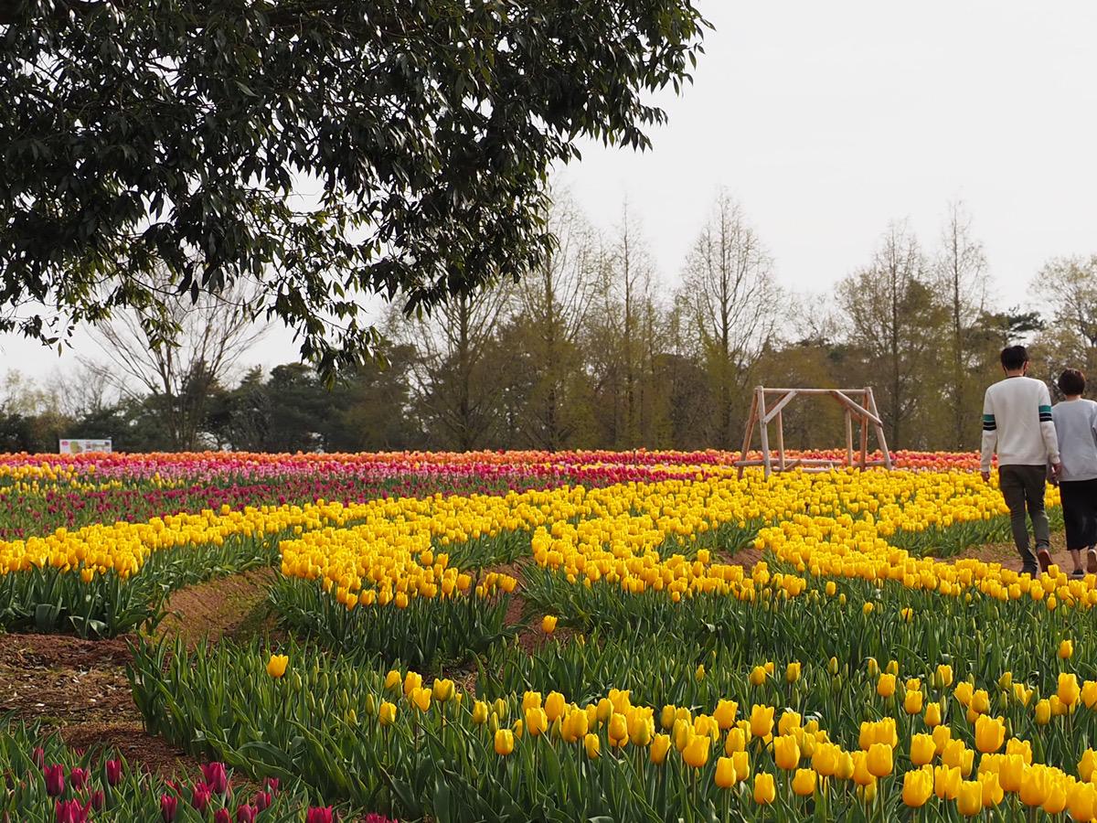 【開園中】チューリップ【5割~6割程度の開花・早咲き品種は見頃】