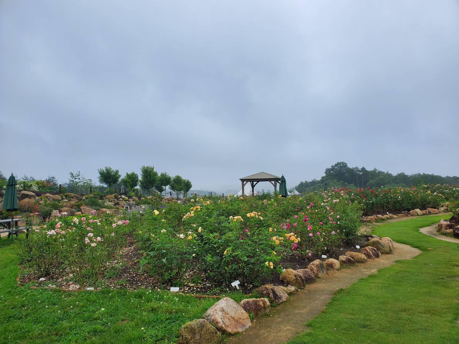 【開園中】イングリッシュローズ【見頃(雨により一時的に花数が少なくなっています)】