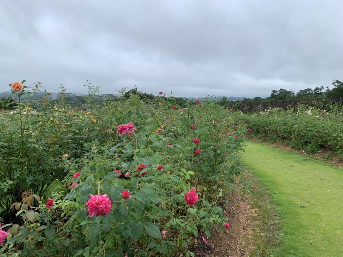【開園中】イングリッシュローズ【見頃】(雨により一時的に花数が少なくなっています)