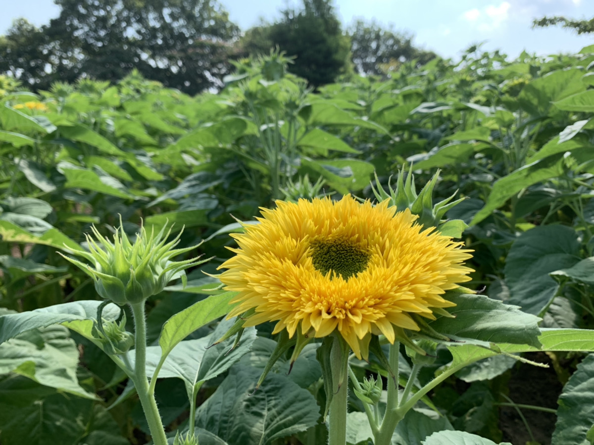 【開園中】ひまわり【全体の5割~6割程度の開花・一部早咲き品種では見頃】