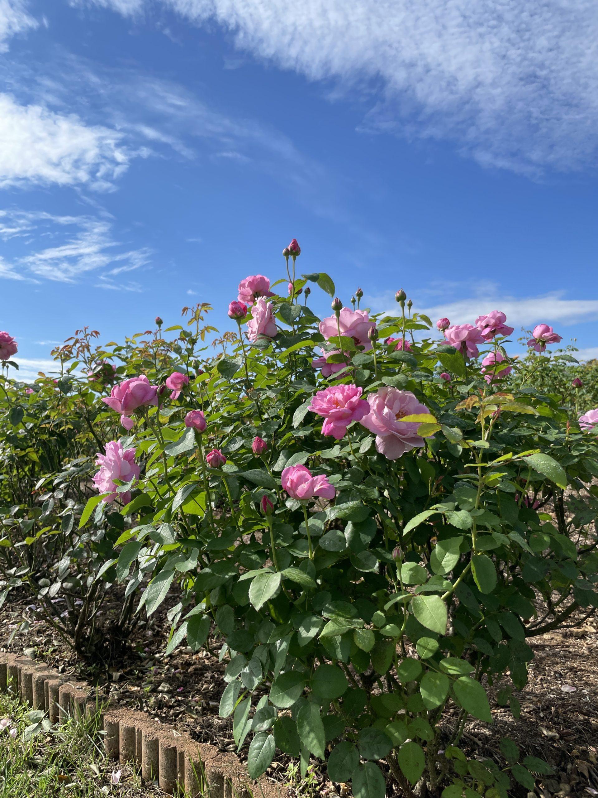 【開園中】イングリッシュローズ・宿根草【見頃】