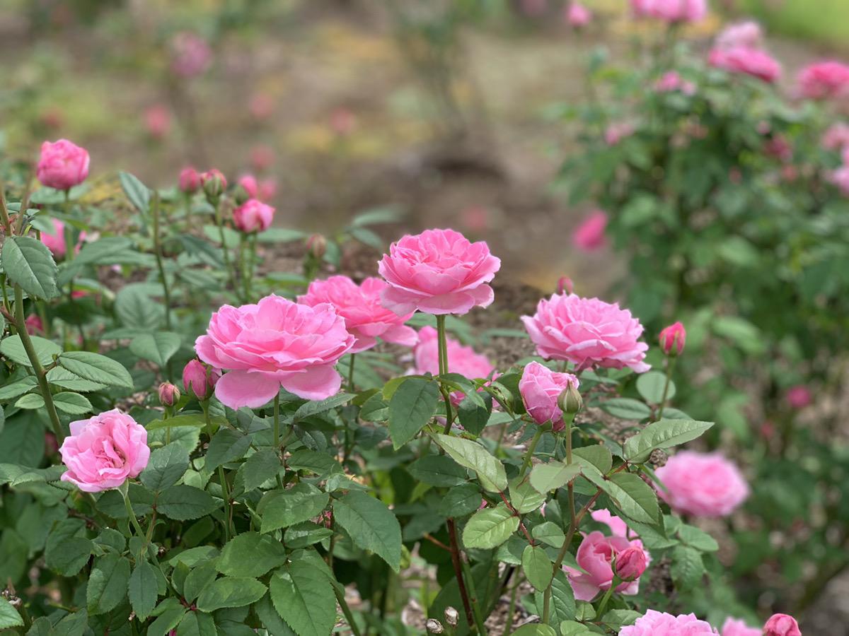 【本日より開園】イングリッシュローズ【咲き始め】宿根草【見頃】