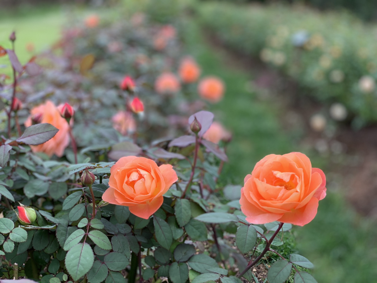 【開園中】イングリッシュローズ【咲き始め】宿根草【見頃】