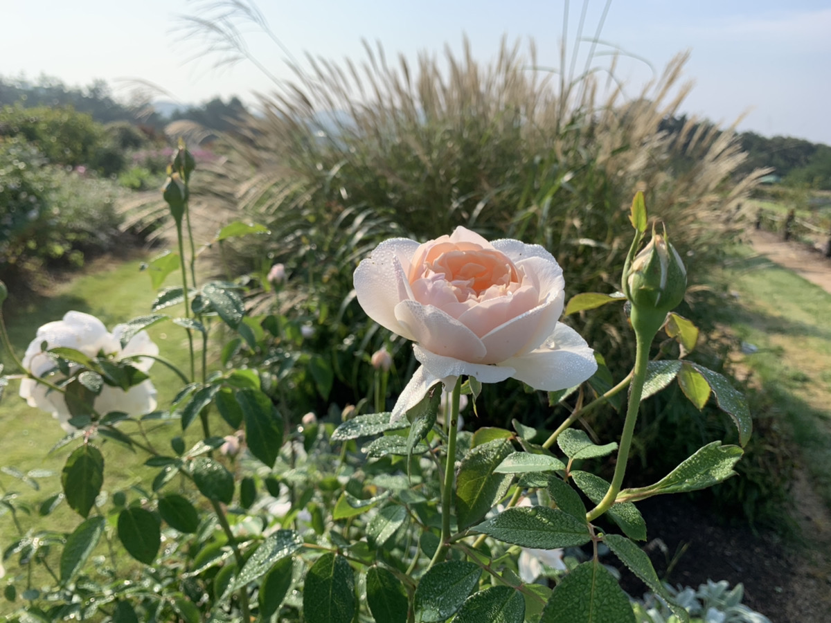 【開園中】イングリッシュローズ【6割程度の開花】宿根草【見頃】