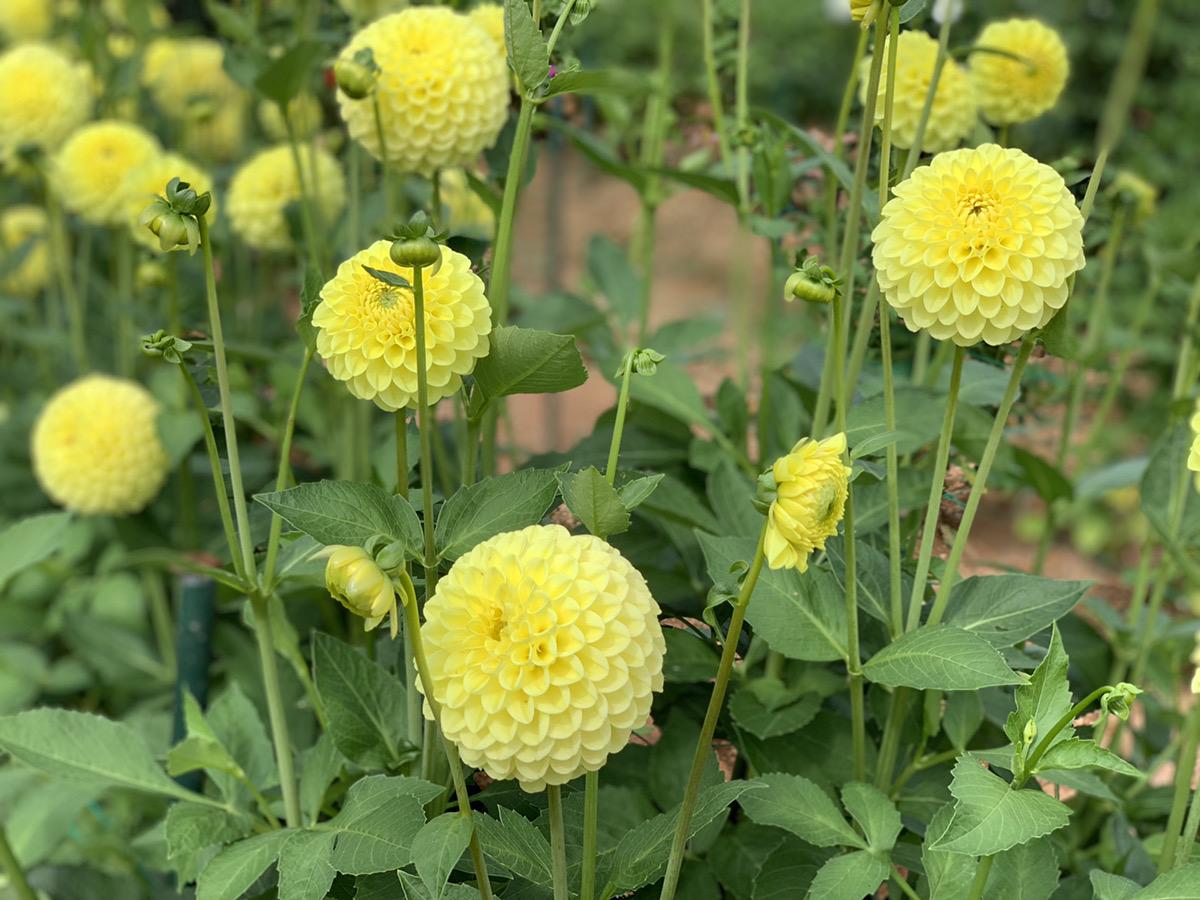 【開園中】ダリア【3割~4割程度の開花】ガーデンマム【2割~3割程度の開花】