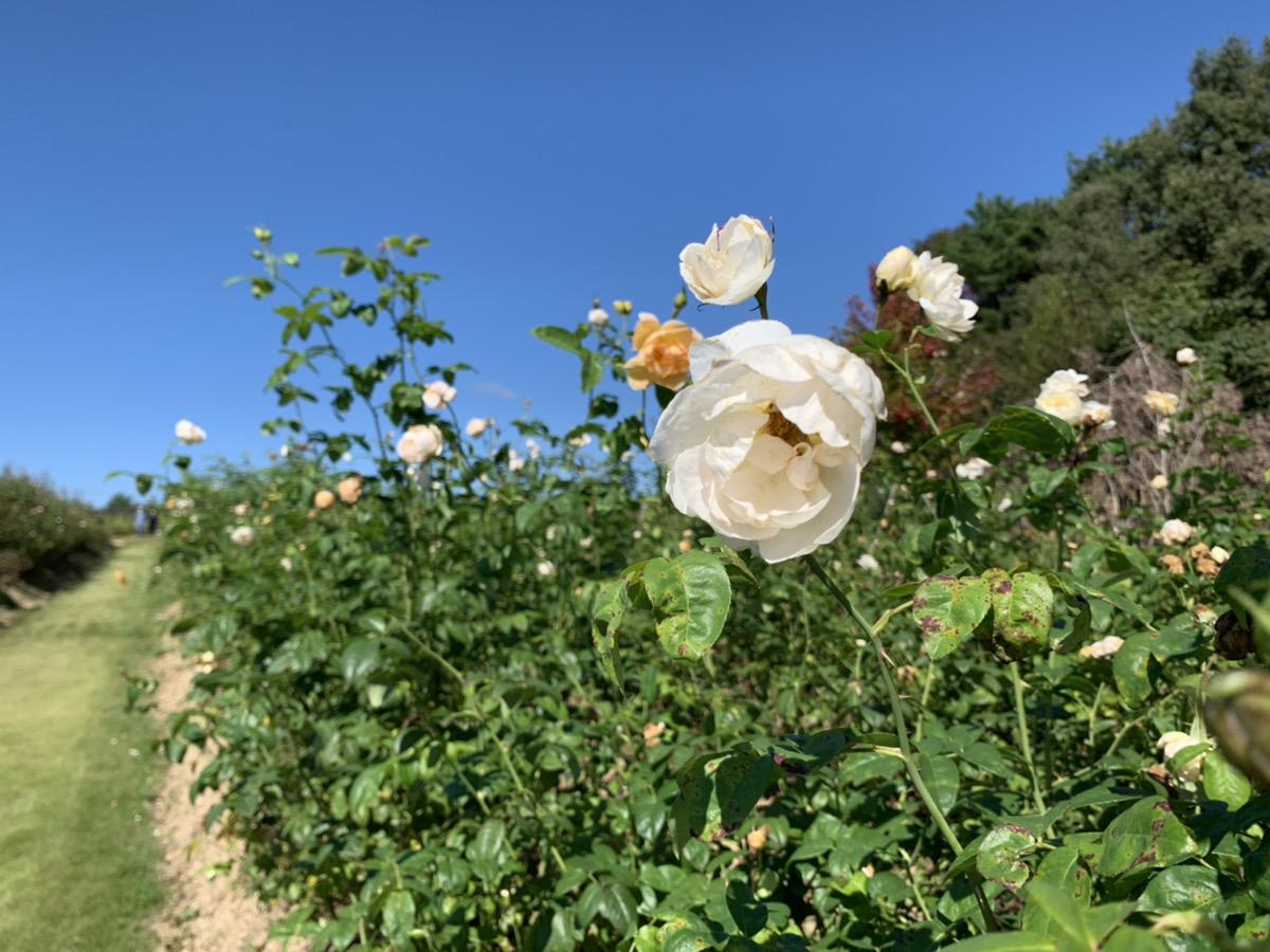 【開園中】イングリッシュローズ【一部見頃】・宿根草【一部見頃】